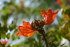 African Tulip Tree (Spathodea campanulata) (Seventh Heaven Photography - (Flora)) Tags: flower flora bloom nikon d3200 african tulip tree spathodea campanulata orange