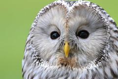 Ural Owl Portrait (dianne_stankiewicz) Tags: nature wildlife bird raptor owl ural feathers portrait