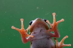 Frog (Meculda) Tags: frog grenouille macro macrophotography animals batracien nikon sigma 105mm matin nature vitre animaux