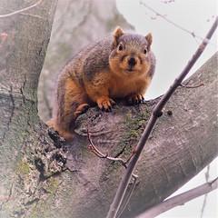 You Talking To Me? (prsavagec) Tags: squirrel squirrels nature outdoor backyard animal november fall tree animals fauna