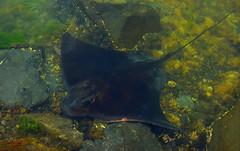 Eagle Ray warming himself up in the shallows (Dan Ross Artist) Tags: stingray eagle ray fish ocean seaweed water sea wellington new zealand lagoon danrossartist