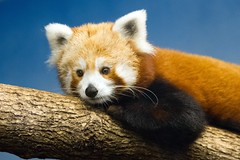 Sleepy Red Panda (boom_goes_the_canon) Tags: zoo iowa nature animal exhibit cute fluffy mammal blankparkzoo desmoines redpanda