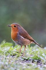 Rotkehlchen / Robin (reipa59) Tags: vogel rotkehlchen vögel nature natur bird robin ransweiler rheinlandpfalz birds pfalz animal tier gras