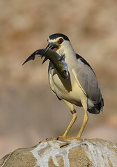 Goraz / Black-crowned Night-heron (anacm.silva) Tags: blackcrownednightheron ave bird wild wildlife nature natureza naturaleza birds aves garçanocturna heron montemorovelho riomondego portugal nycticoraxnycticorax goraz coth5