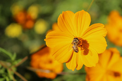 A desert pollinator (Stephen G Nelson) Tags: insect honeybee daisy desert tucson arizona inexplore