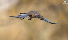 Eurasian Jay In Flight (Mick Erwin) Tags: nikon afs 600mm f4e fl ed vr lens d850 mick erwin stoke trent staffordshire wildlife nature jays eurasianjay jaybird eurasian jay garrulus glandarius corvid flight flying flyby