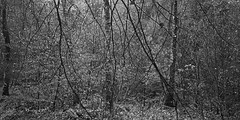 Lines in the Woods 1b (ShinyPhotoScotland) Tags: abstractqualities art autumn balance birch blur bokeh camera complexity composite monochrome blackandwhite composition contentment contrasts darktable depthoffield digikam dulllight dunkeld emotion enfuse equipment filigree flora fuji fuji18mmf20 fujixh1 hdr hermitage intimatelandscape landscape lens light lines manipulated narrowdof nature nearfar perthshire photography places pure raw rawconversion rawtherapee scotland seasonal shapeandform simplecomplex the toned trees weather