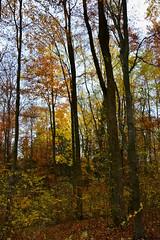 Autumn Forest (ericgrhs) Tags: forest fall autumn herbst laub leaves blätter trees tree bäume baum autumncolors herbstfarben sauerland nature natur nrw nordrheinwestfalen