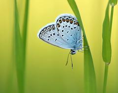 Common blue (Juergen (ON&OFF)) Tags: commonblue butterfly plant green gliederfüser schmetterling shootingstars nikon nature naturaufnahme naturfotografie