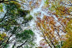 Autumn Leaves in Todoroki Valley Park : 等々力渓谷公園の紅葉 (Dakiny) Tags: 2018 winter december japan tokyo setagaya todoroki nature landscape park valleytodorokivalleypark street plant tree autumnleaves nikon d750