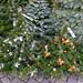 Tannen für Weihnachtsbäume und bereits geschmückte Christbäume im Straßenverkauf