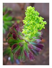 Aeonium Arboretum 'Velour' Flower (2080cronos1) Tags: aeonium succulent cactus purple green botany botanical garden nature flower flowers arboretum velour