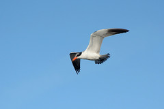 Caspian Tern (linda m bell) Tags: sanjoaquinwildlifesanctuary irvine california 2018 wetlands birdwatching caspiantern