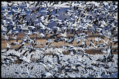 Snow Geese at Loess Bluffs National Wildlife Refuge - No 7 (Nikon66) Tags: loessbluffsnationalwildliferefuge snowgeese eagle hawk holtcounty forestcity moundcity missouri nikon d850 600mmnikkor