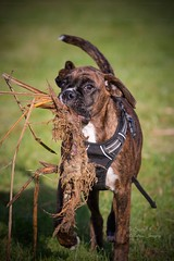 A bit of pond clearance! 😂 (Albatross Imagery) Tags: fun instagrampets ukpets lovedogs petboxer boxers pedigreedog puppyfun puppy photographer photography photo flickranimals flickr instagram petphotographer petphotography dogportraits dogphotography animalportraits animal pets pet dogs dog funnyanimals funnypets funny boxerfun boxerpuppy boxerdog