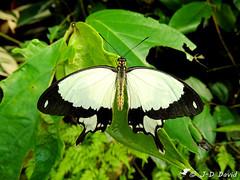 Papilio Dardanus (Jean-Daniel David) Tags: insecte insectevolant papillon noiretblanc noir blanc vert verdure feuille feuillage closeup grosplan macro fribourg kerzers chiètres papiliorama suisse nature animal bokeh