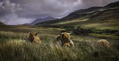 Une paisible journée (JardinsLeeds) Tags: shetlandcow cow vaches écosse paysageécosse paysage landscape scotland scottishlandscape montagnes mountains nikond800e