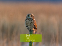 Short eared Owl (AnthonyVanSchoor) Tags: anthonyvanschoor maryland usa shorteared owl birdofprey easternshoremaryland
