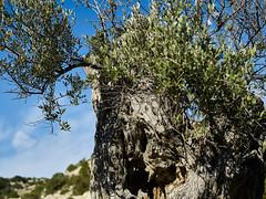 Old olive tree (Jonathon Bennett Photos) Tags: olivetree tree nature leaves cyprus olivegrove akamas colour bark ancienttree branches sky bluesky shadow light highlight captureone phaseone mediumformat jonathonbennettphotoscom oliveoil clouds