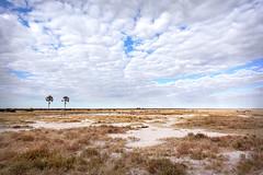 Two Palms at the Waterhole _6207-2 (hkoons) Tags: southernafrica africa african namibia etosha pan flats desert namutoni caprivi caprivistrip wildlife grass grasses clouds