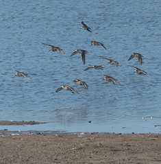 Dunlin (Kath Stennett) Tags: bird calidrisalpina covehithe dunlin places suffolk beccles england unitedkingdom gb