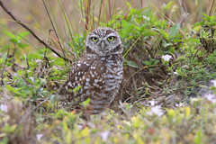 Burrowing Owl (ashockenberry) Tags: ashleyhockenberryphotography animal beautiful bird vacation nature naturephotography natural national protected species wildlife wildlifephotography wild wilderness florida cape coral borrowing owl burrow habitat majestic grassland field cute travel tourism