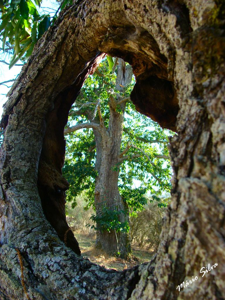 Águas Frias (Chaves) - ... vendo o castanheiro pelo buraco de outro velho castanheiro ...