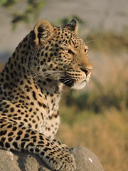 Leopard on a termite mound (BaliDave2) Tags: botswana wildlife leopard africa 2018