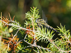 Large pincertail (Onychgomphus uncatus), Les Pontils (Niall Corbet) Tags: france occitanie languedoc roussillon aude pebrieres largepincertail onychgomphusuncatus dragonfly