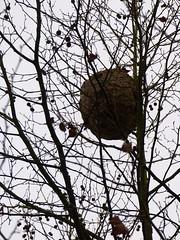 Cagnotte, Landes: nid de frelons en contreplongée, thème de janvier (Marie-Hélène Cingal) Tags: france cagnotte paysdorthe 40 landes aquitaine nouvelleaquitaine