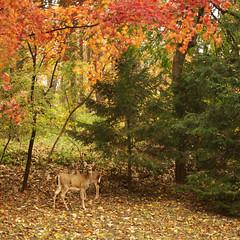 grazing (○ Hanna Lee ○) Tags: deer animalphotography animalphotographer animalphotographers wildlifephotography wildlifephotographer