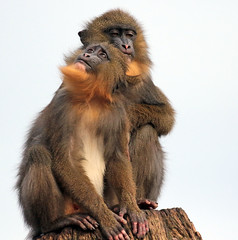 Mandrill Artis 094A0837 (j.a.kok) Tags: mammal monkey primate primaat mandril mandrillussphinx mandrill animal artis africa afrika aap zoogdier dier
