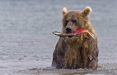 A good catch (paolo_barbarini) Tags: bear bears orso kamchatka russia kuril lake fishing salmon pesca salmone natura animali nature animals wildlife