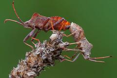 Gonocerus duo (andredekesel) Tags: gonocerusacuteangulatus coreidae hemiptera bugs sonya6500 fe2890macrogoss zerenestacker fieldstack