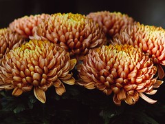 Mum (chrysanthemum) (Kito K (fxkito2)) Tags: closeup japan flower tokyo fineart nature lumix olympus autumn macro color omd