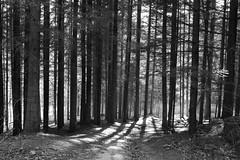 Ciężkowice Pathway through bar-code trees 4 IMG_5226 b bw (david.neville2776) Tags: ciężkowice małopolska trees sunlight shadows