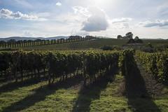 Shine on Him (Jethro_aqualung) Tags: umbria perugia grapes wine landscape italy sun sunny green nikon d800e jethroaliastullph