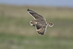 Short Eared Owl (Ade Ludlam) Tags: short eared owl raptor bird prey somerset nature wildlife nikon d7200 sigma sigma150600