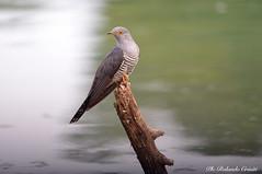 Cuculo _003 (Rolando CRINITI) Tags: cuculo uccelli uccello birds ornitologia avifauna santalbanostura natura