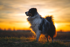 Quick & Dirty (der_peste (on/off)) Tags: sunset bokeh dof dog blur sundown sunlight backlight backlit canine hund aussie australianshepherd bluemerle