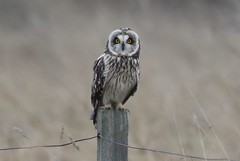 Short-eared Owl (Asio flammeus) (Fly~catcher) Tags: asio flammeus shorteared owl post