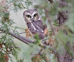 Saw-whet Owl (sspike@rogers.com) Tags: owl sawwhet nature steverossi wildlife eosr