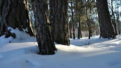 Winter day in the forest. (ALEKSANDR RYBAK) Tags: изображения снег сезон погода природа лес деревья сугробы солнечный день свет тень белый пушистый зима images snow season weather nature forest trees drifts solar day shine shadow white fluffy winter