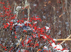 Winterberry in snow ((nature_photonutt) Sue) Tags: latefall winterberries canadianholly ironbridgeontariocanada 20000views