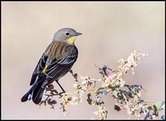 Yellow-Rumped Warbler (Ed Sivon) Tags: america canon nature lasvegas wildlife wild western southwest desert clarkcounty vegas flickr bird henderson n