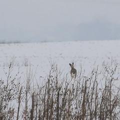 Running (gabormatesz) Tags: wildlife winter wintermadness canon 70200mm rabbit animal animals hare nature naturephotography snow snowfield