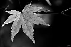Avant qu'elle tombe (Un jour en France) Tags: feuille monochrome noiretblanc noiretblancfrance acerjaponico érable acer acerpalmatum メープル