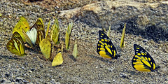 On the ramp... (Lopamudra !) Tags: lopamudra lopamudrabarman lopa butterfly insect jayanti forest india colour color colours colourful spotted spottedsawtooth sawtooth westbengal nature beauty beautiful wilderness duars dooars