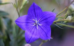 July in the Garden (Mark Wordy) Tags: mygarden flowers balloonflower platycodon