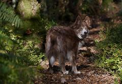 Kira's kamouflage (A child in the night) Tags: kira camouflage woods woodland sheepdog path gaze checking hyper alert intense hills theedge